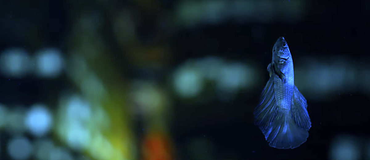 """A shot from Danna's experimental film """"The Secrets"""" showing a Beta fish against a bokeh background."""